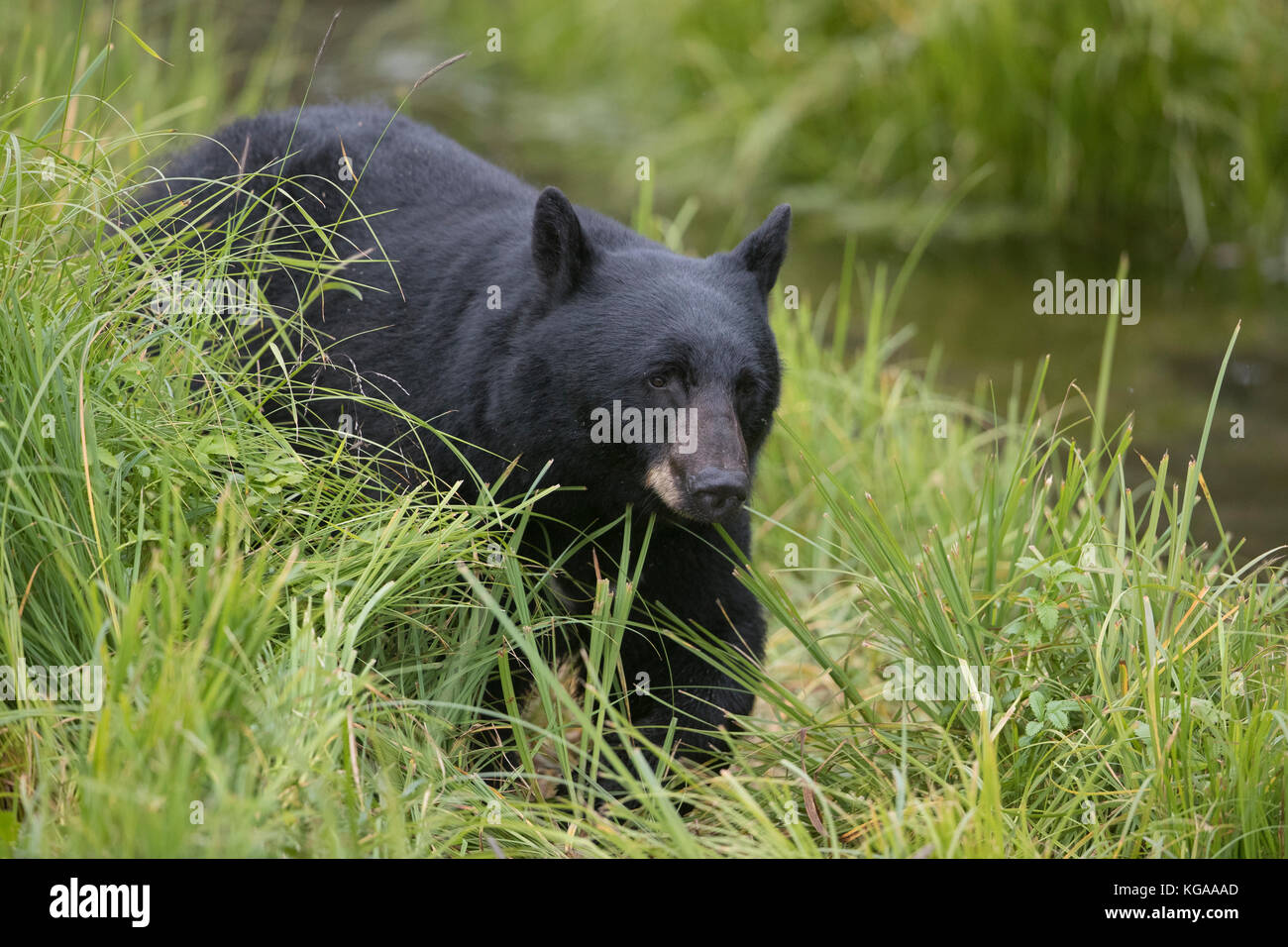 Black bear heads down to the river to fish for salmon, Alaska - Stock Image