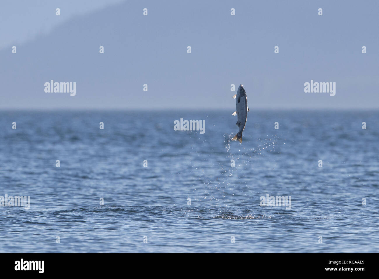 Jumping Salmon, Alaska - Stock Image