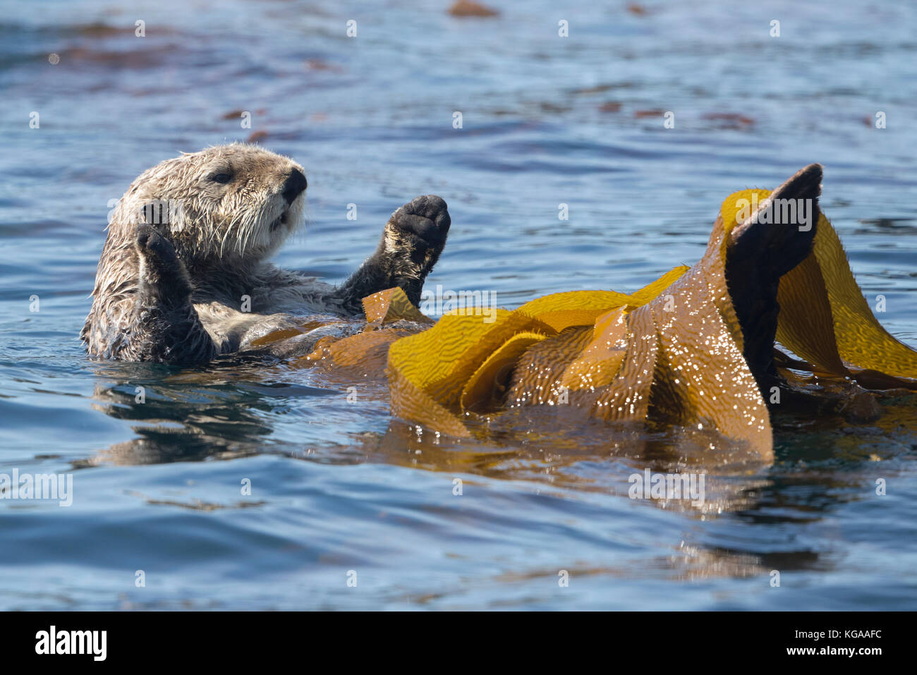 Sea Otter rolling in kelp, Alaska - Stock Image