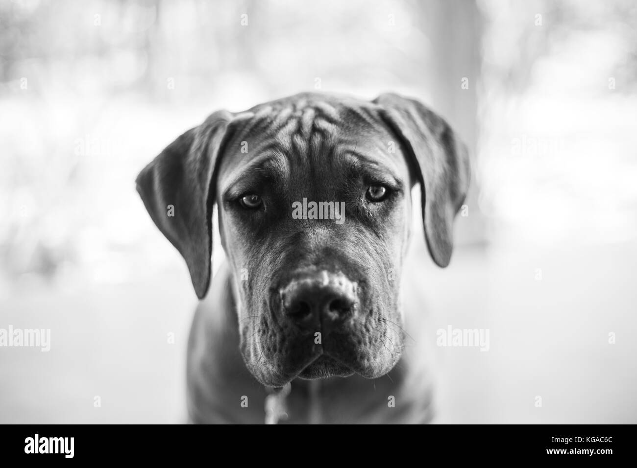 Black and white portrait of a boerboel puppy. Stock Photo