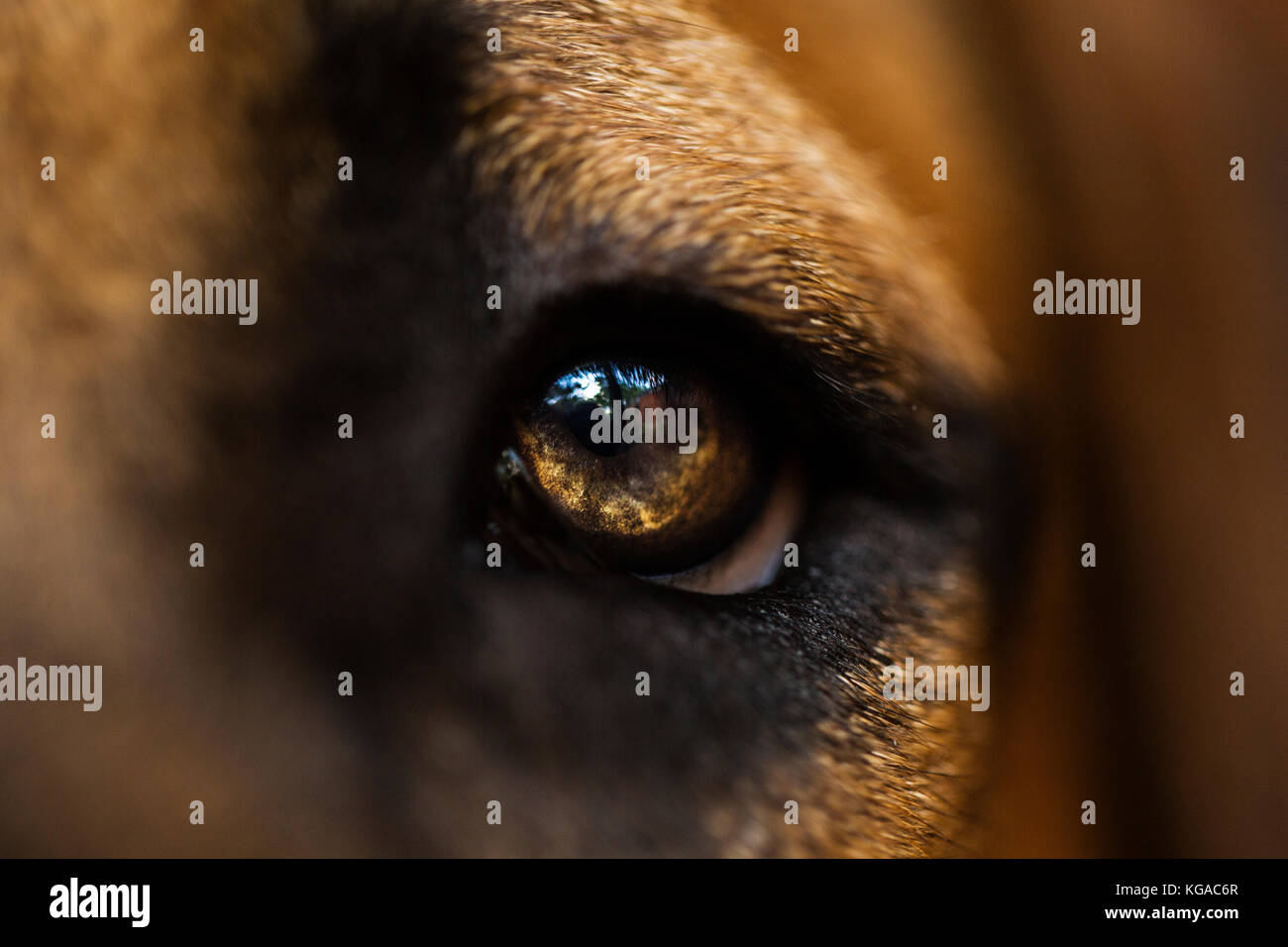 Macro photograph of a boerboel puppies eye. - Stock Image