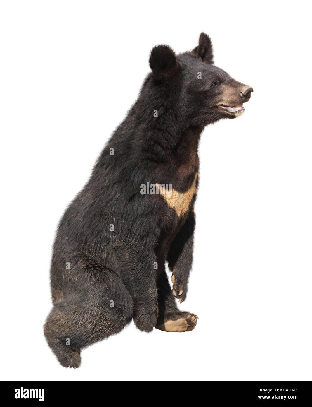 Asiatic black bear (himalayan bear, ursus thibetanus). Isolated on white background - Stock Image