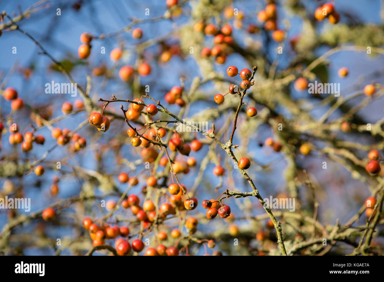 Crab Apple Tree With Bare Branches Still Carrying Fruits Despite