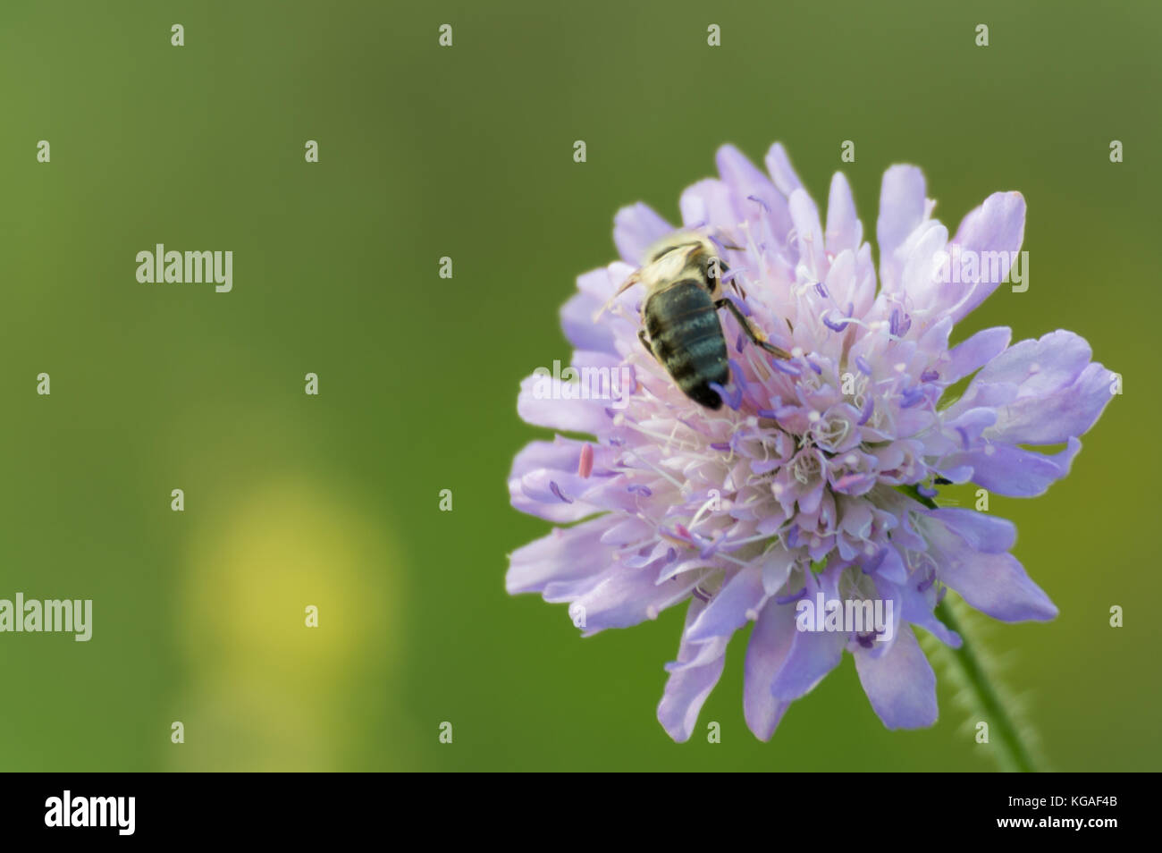 Bee collecting honey from pincushion flower - Stock Image