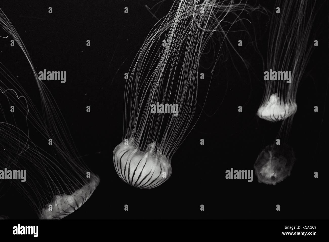 Jellyfish at San Francisco's Aquarium of the Bay - Stock Image