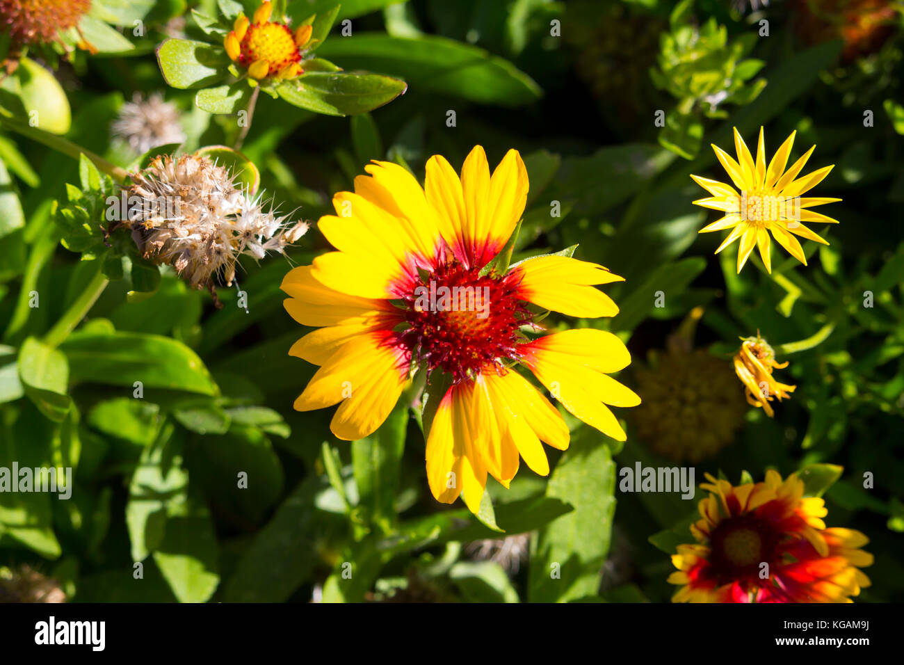 Red Yellow Daisy Asteraceae Stock Photos Red Yellow Daisy