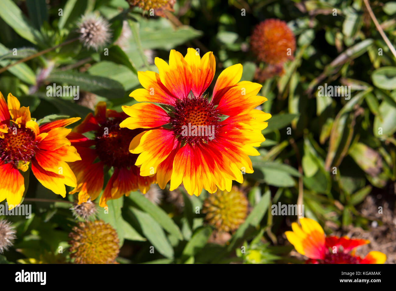 Bright yellow and red flowers of Gaillardia Asteracea sunflower ...