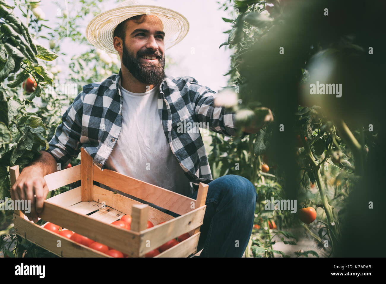 Male farmer picking fresh tomatoes from his hothouse garden Stock Photo