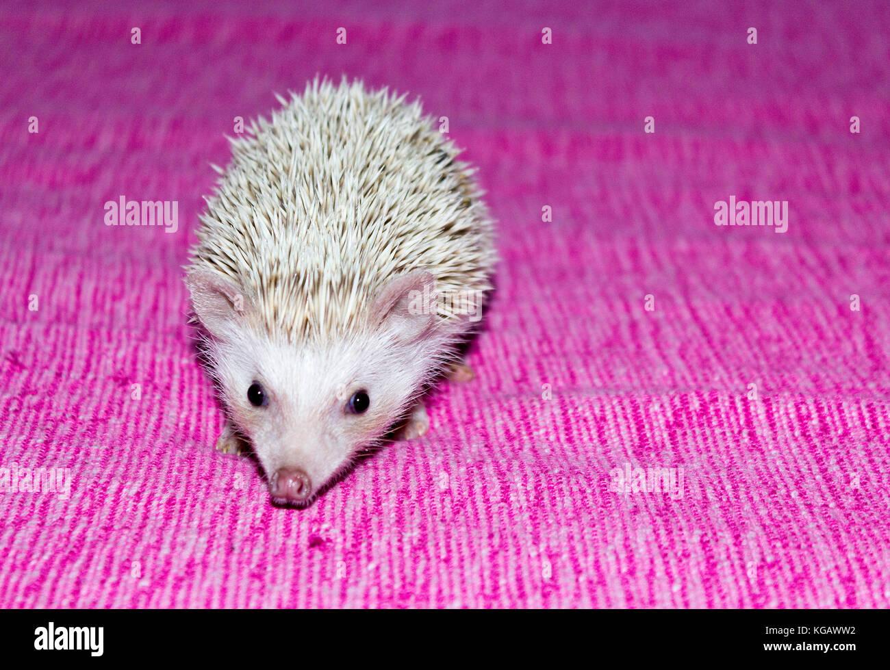 Pet- Four-toed hedgehog (Atelerix albiventris) or African pygmy hedgehog - Stock Image