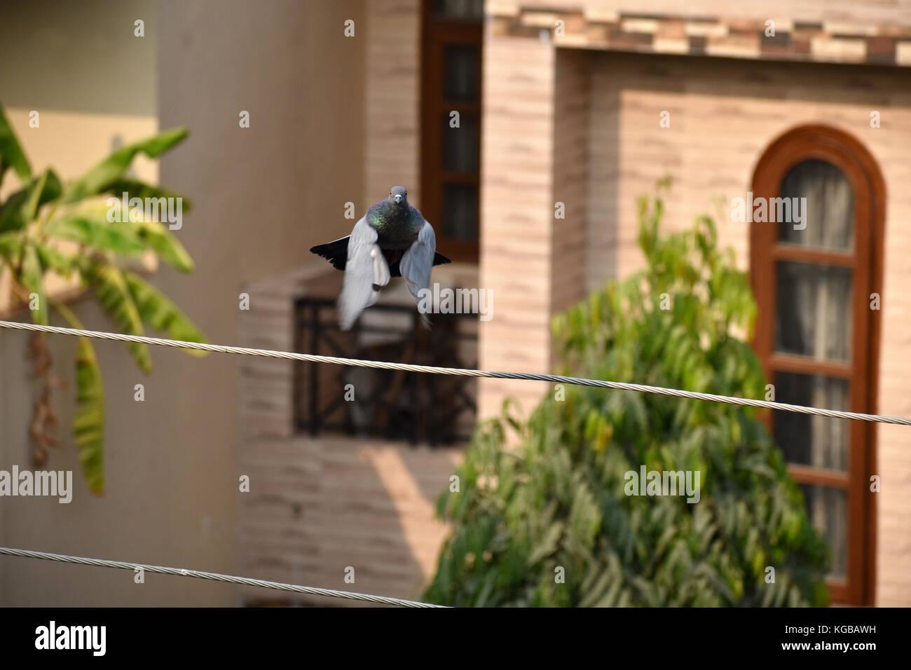 Pigeon in flight - Stock Image