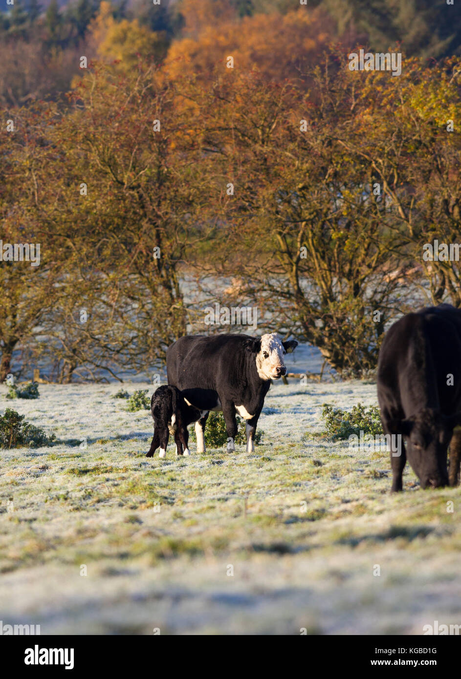 Teesdale, County Durham UK. Monday 6th November 2017. UK Weather. With temperatures dropping to minus 3 overnight - Stock Image