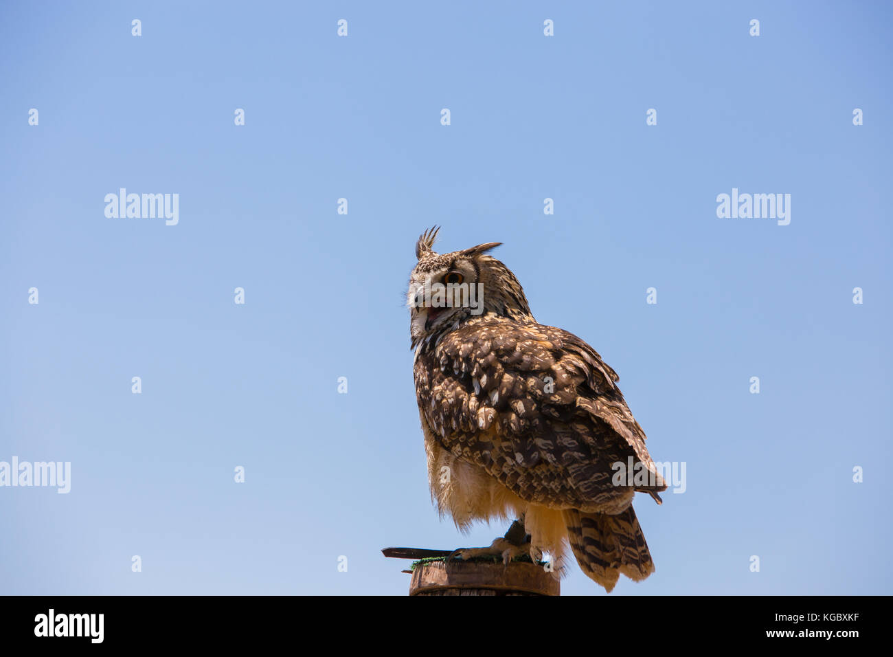 Bubo bubo - Real owl over a wooden pole with open beak. - Stock Image