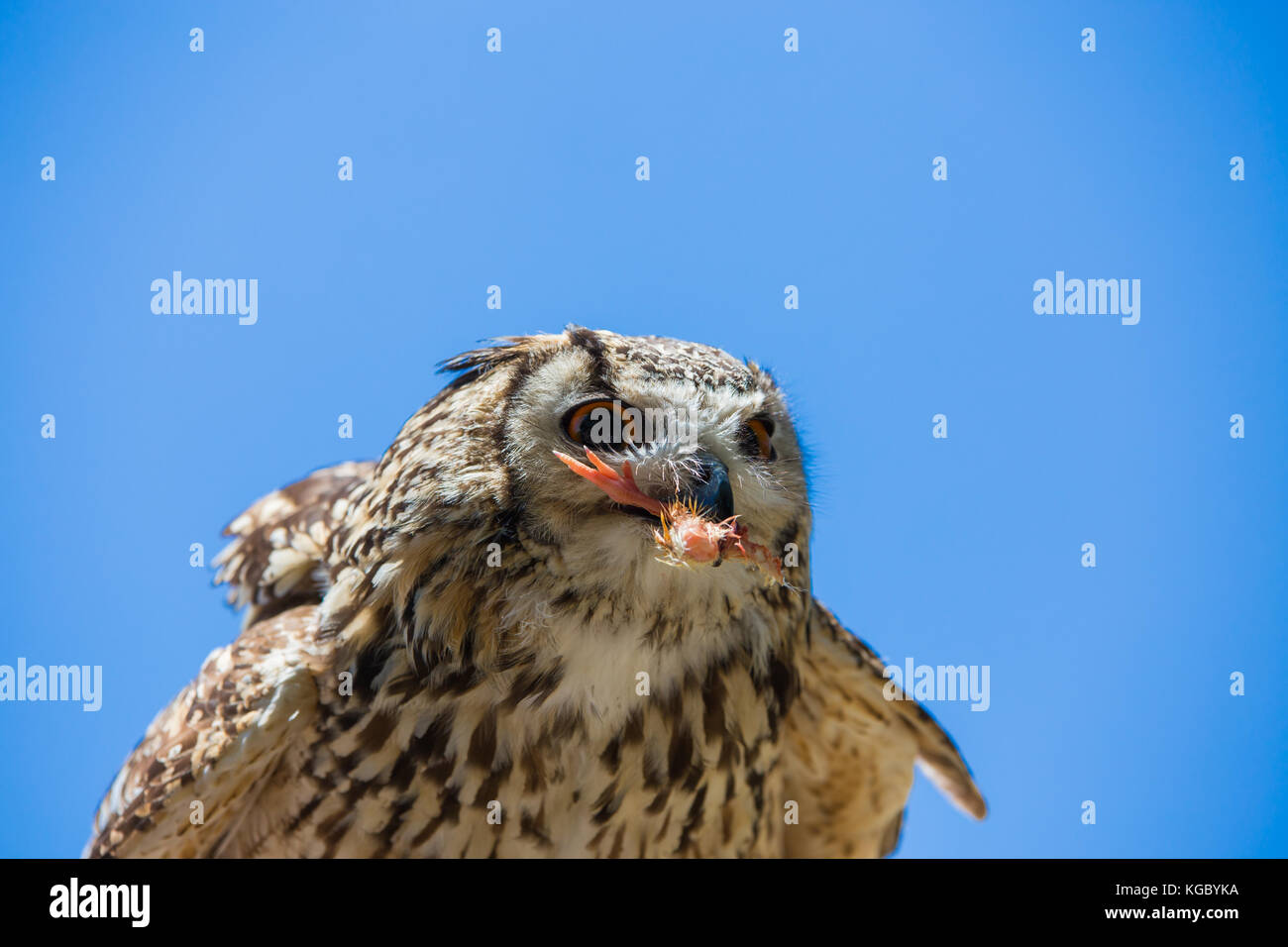 Bubo bubo - Real owl while eating a chick. - Stock Image