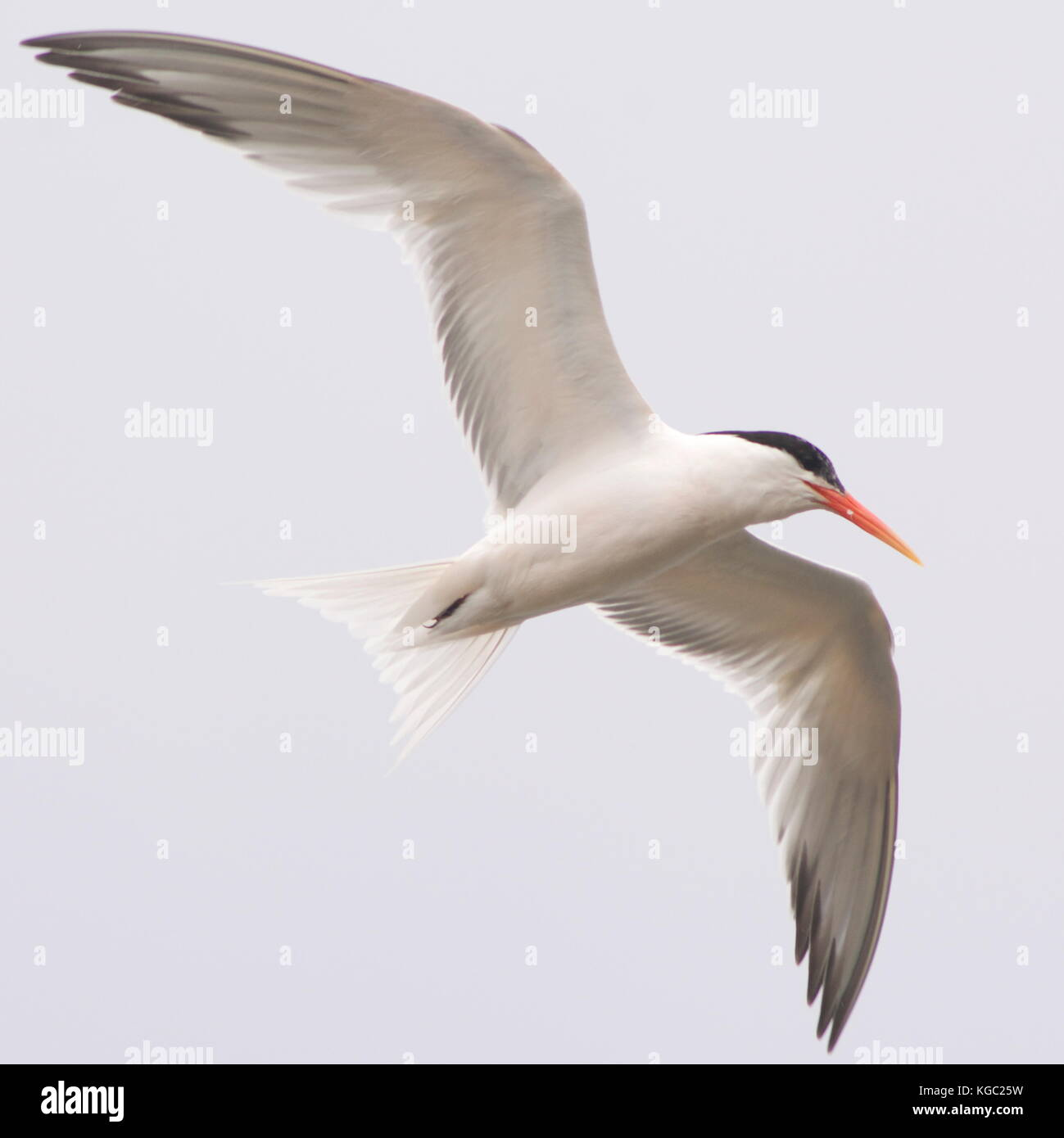 Elegant Terns certainly live up to their name, especially when you see them in flight - Stock Image