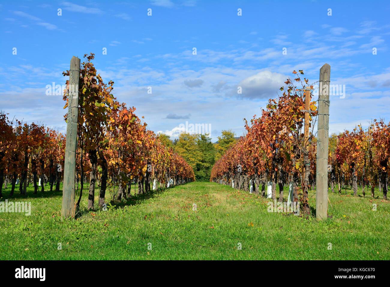Autumnal rows of grape vines in late October in the north east Italian region of Friuli Venezia Giulia. Stock Photo