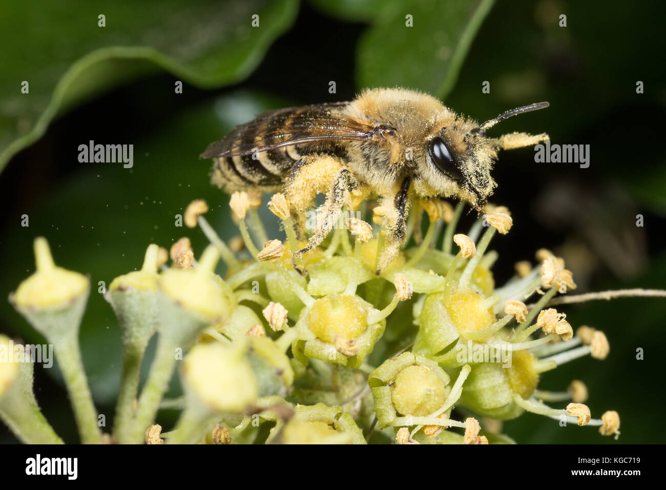 Ivy bee - a recent arrival to the UK and a late pollinator emerging in Autumn - laden with pollen, which is blowing - Stock Image