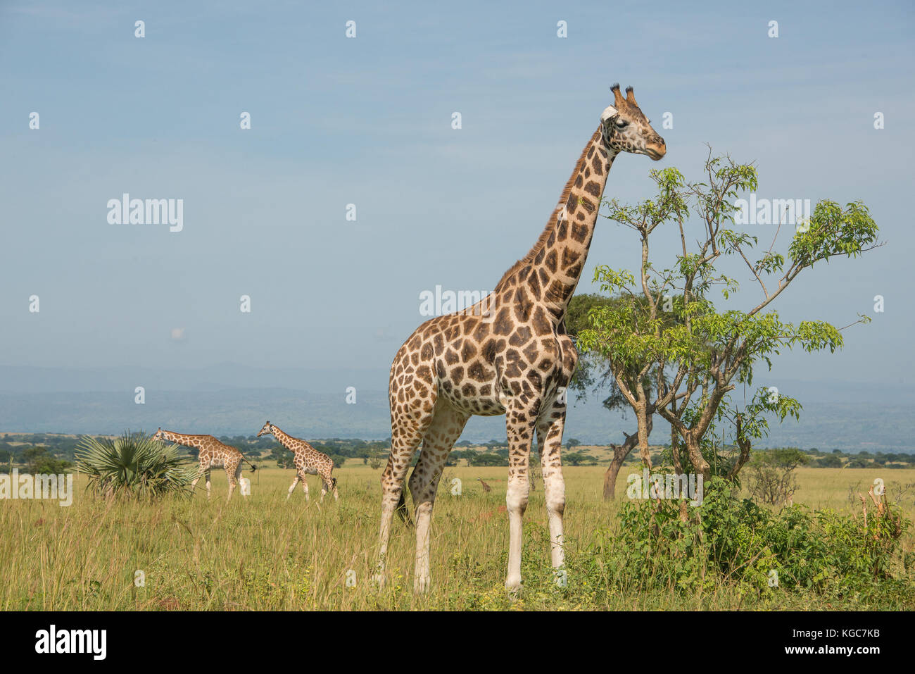 Rothschild's giraffe, an Endangered subspecies found in only two Parks; Murchison Falls National Park, Uganda. - Stock Image