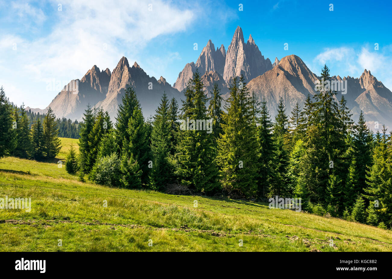 spruce forest on grassy hillside in mountains with rocky peaks. gorgeous composite image of summer landscape. strengths - Stock Image