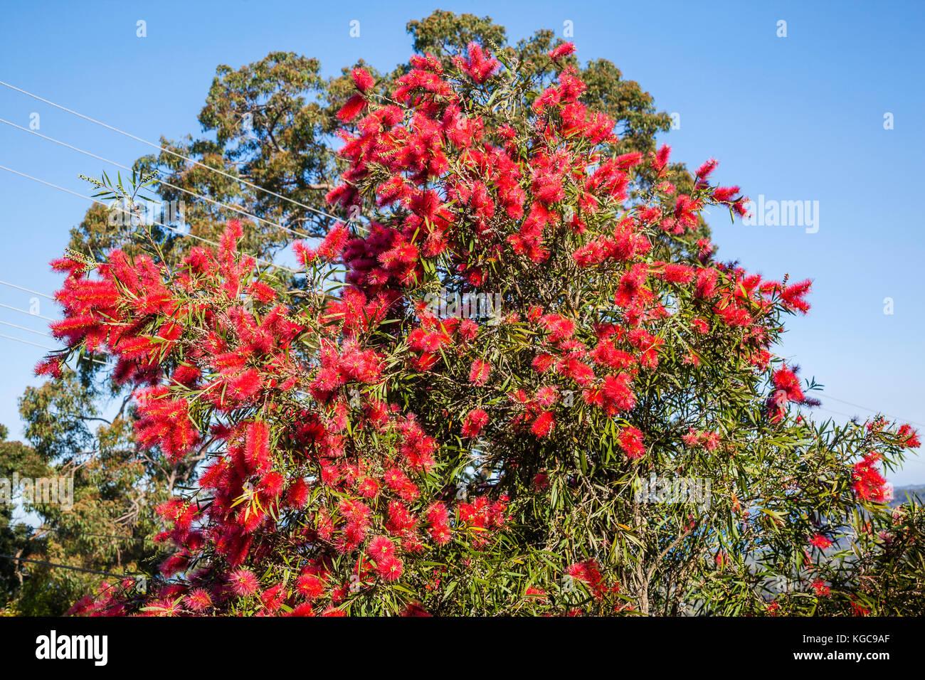 Australia, New South Wales, Central Coast, Red bottlebrush in full flower at Umina Beach - Stock Image