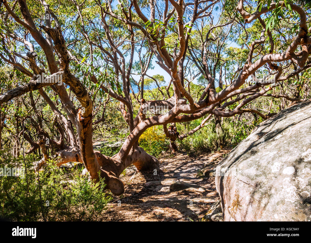 Australia, New South Wales, Central Coast, Bouddi National Park, twisted and gnareld Angophora costata, Sydney Red - Stock Image