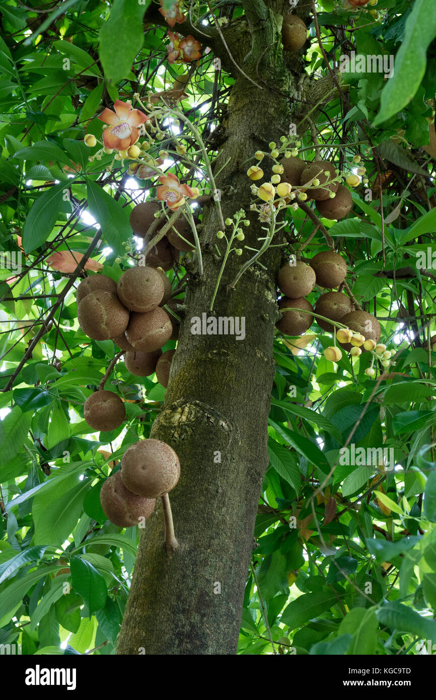 Cannonball tree with buds, fruit and flowers - Stock Image