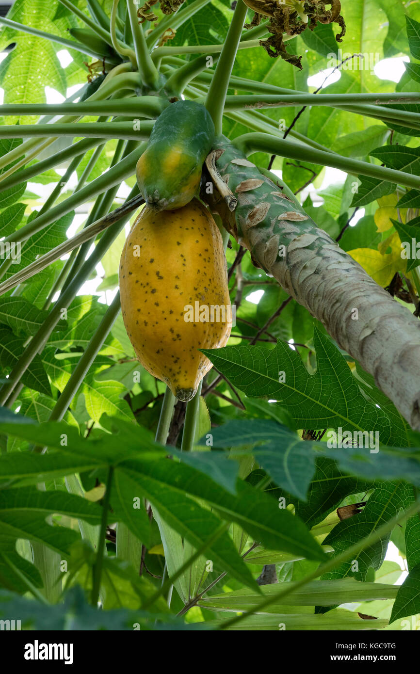 Ripe tropical papya fruit hanging on the tree - Stock Image