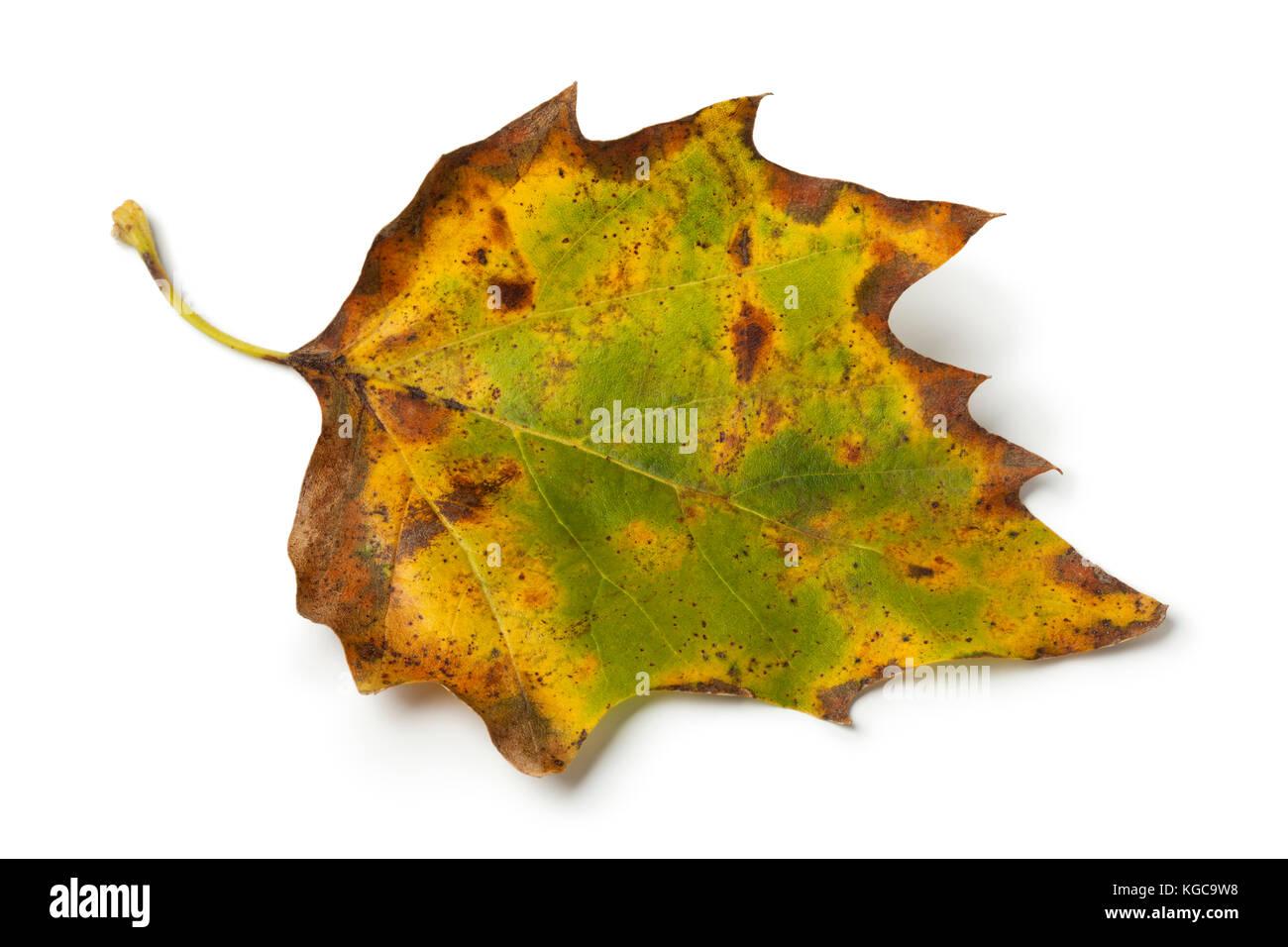 Autumn maple leaf on white background - Stock Image