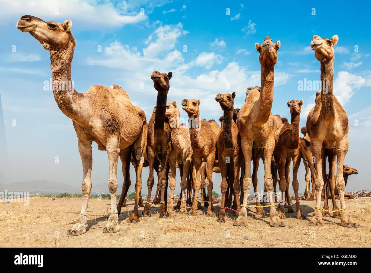 Camels at Pushkar Mela Pushkar Camel Fair , India - Stock Image
