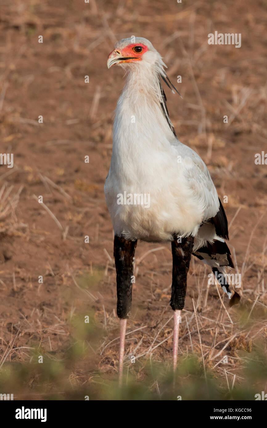 A Secretary Bird looking for prey in Tsavo East National Park, Kenya Stock Photo