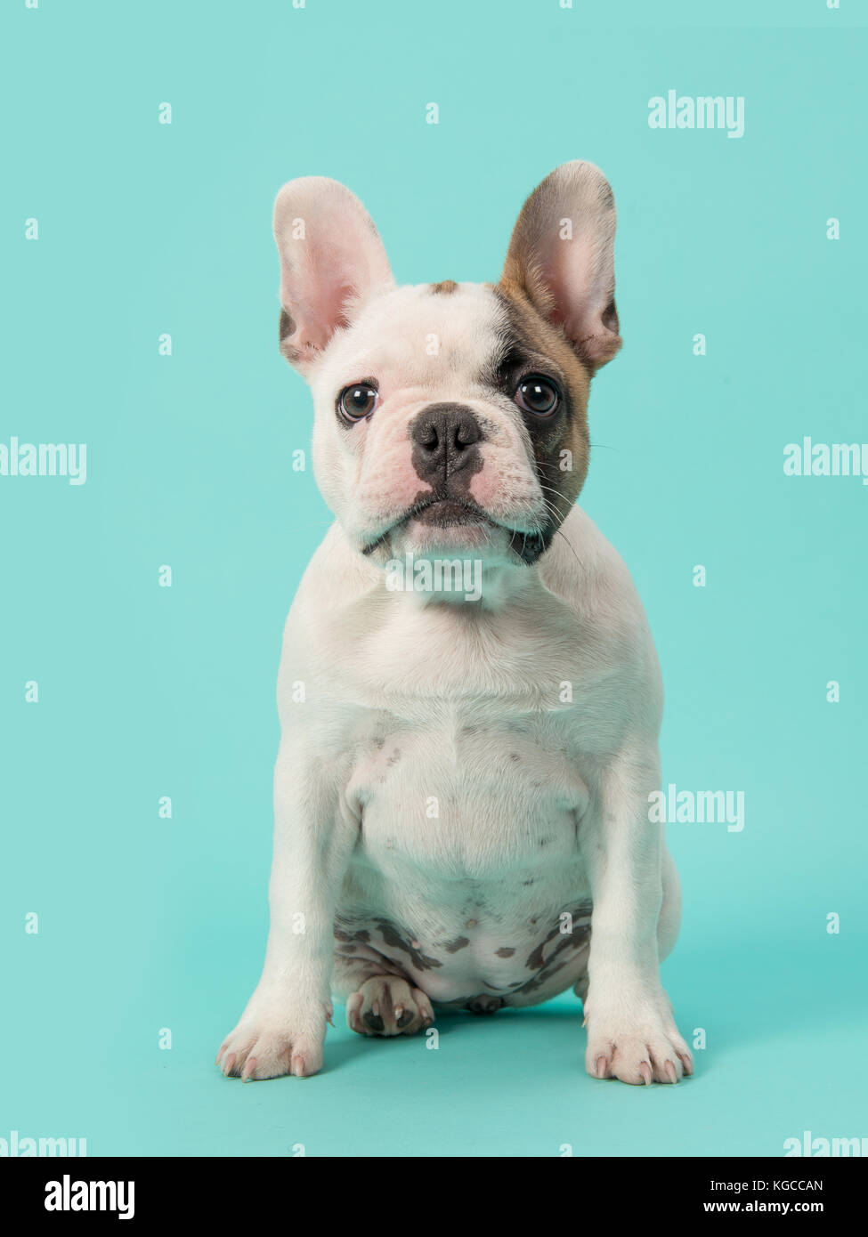 be14a2010c58 Cute sitting white and brown french bulldog puppy facing the camera on a  mint blue background