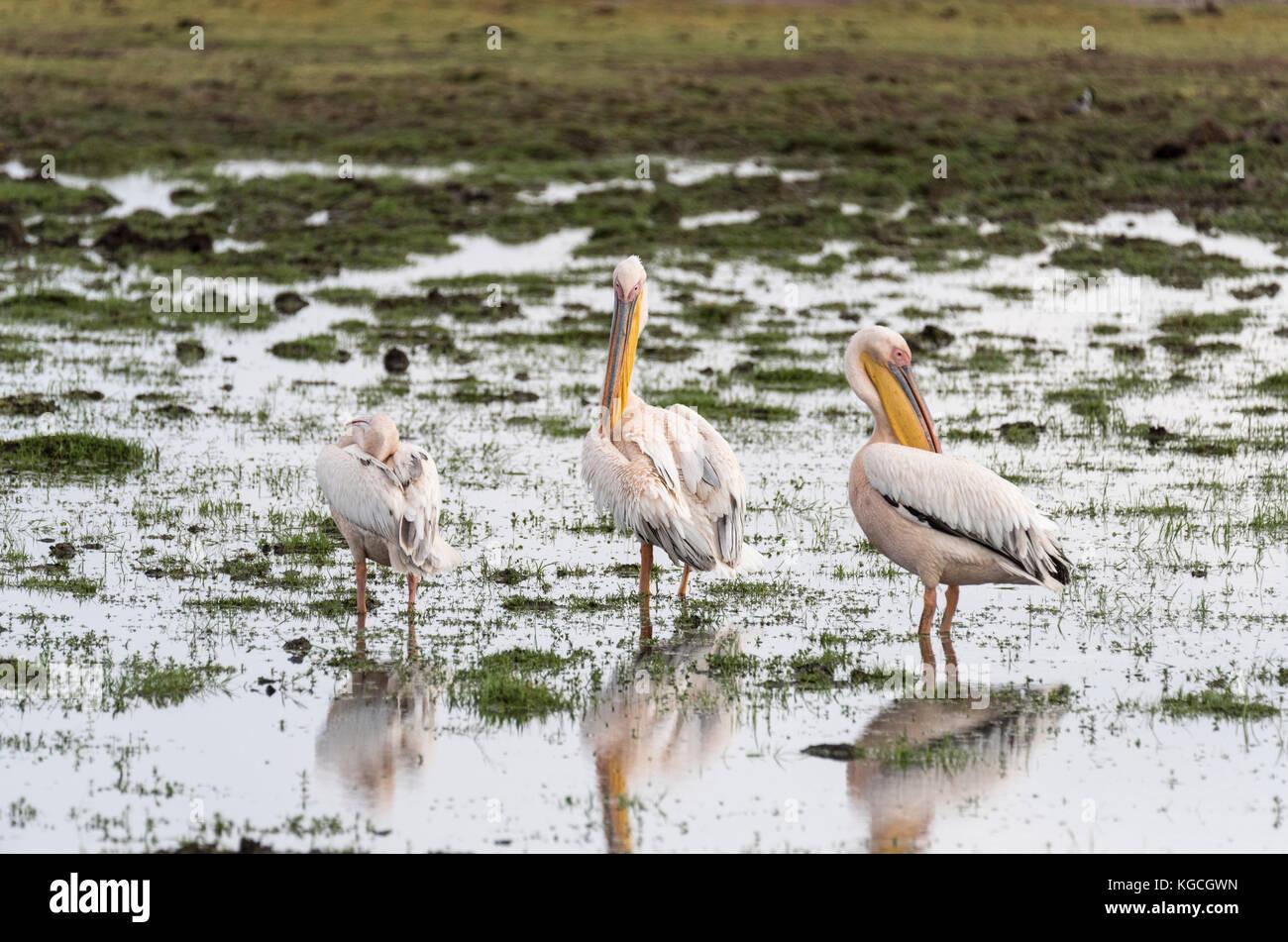 Three preening Great White Pelicans (Pelecanus onocrotalus) Stock Photo