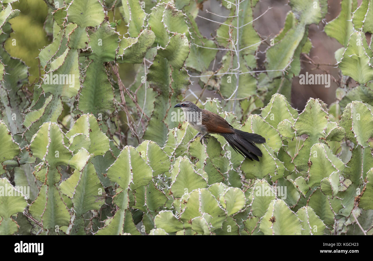 White-browed Coucal (Centropus supercilious) perched on Carallum sp - Stock Image