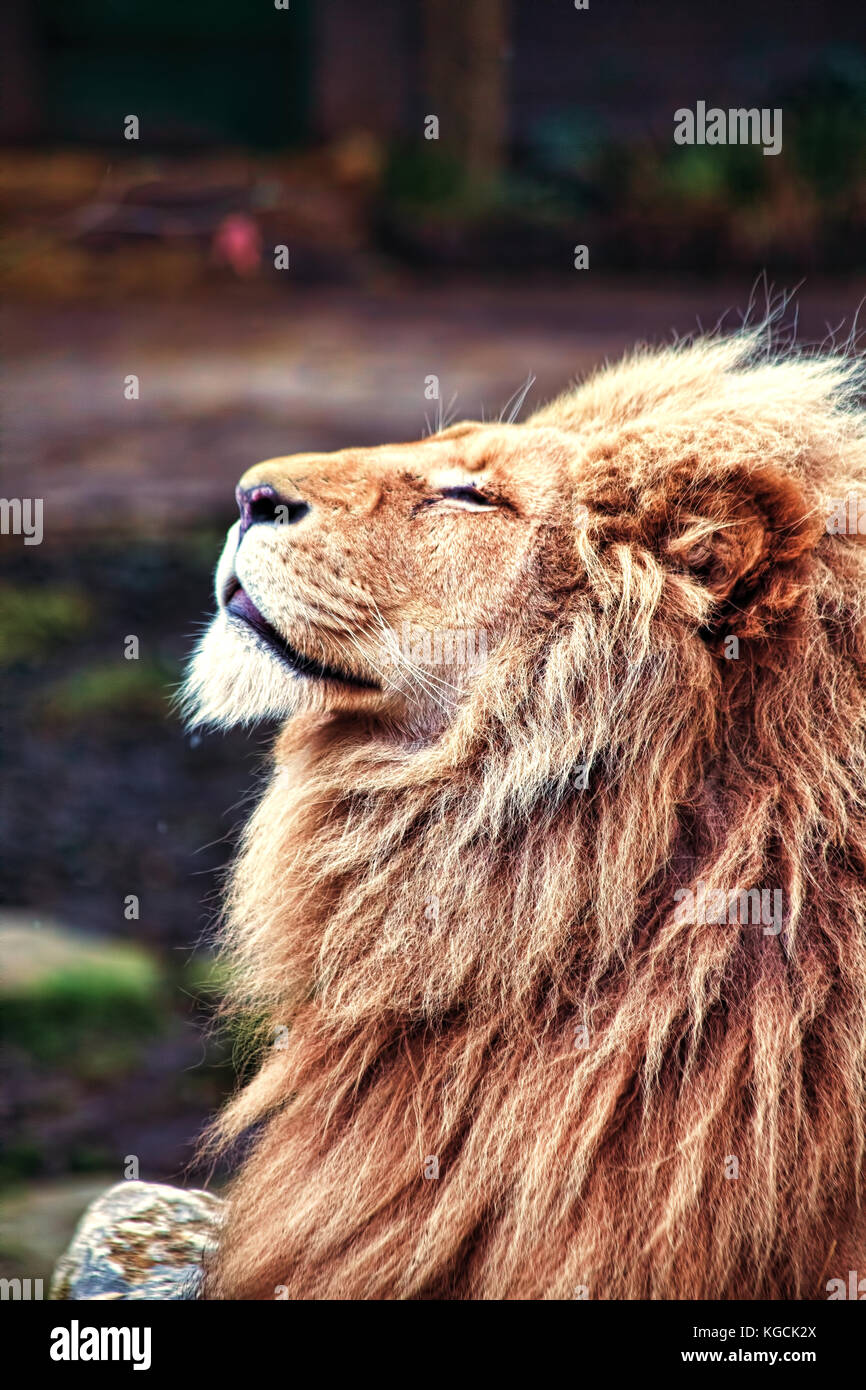 Lion basking in the sun - Stock Image