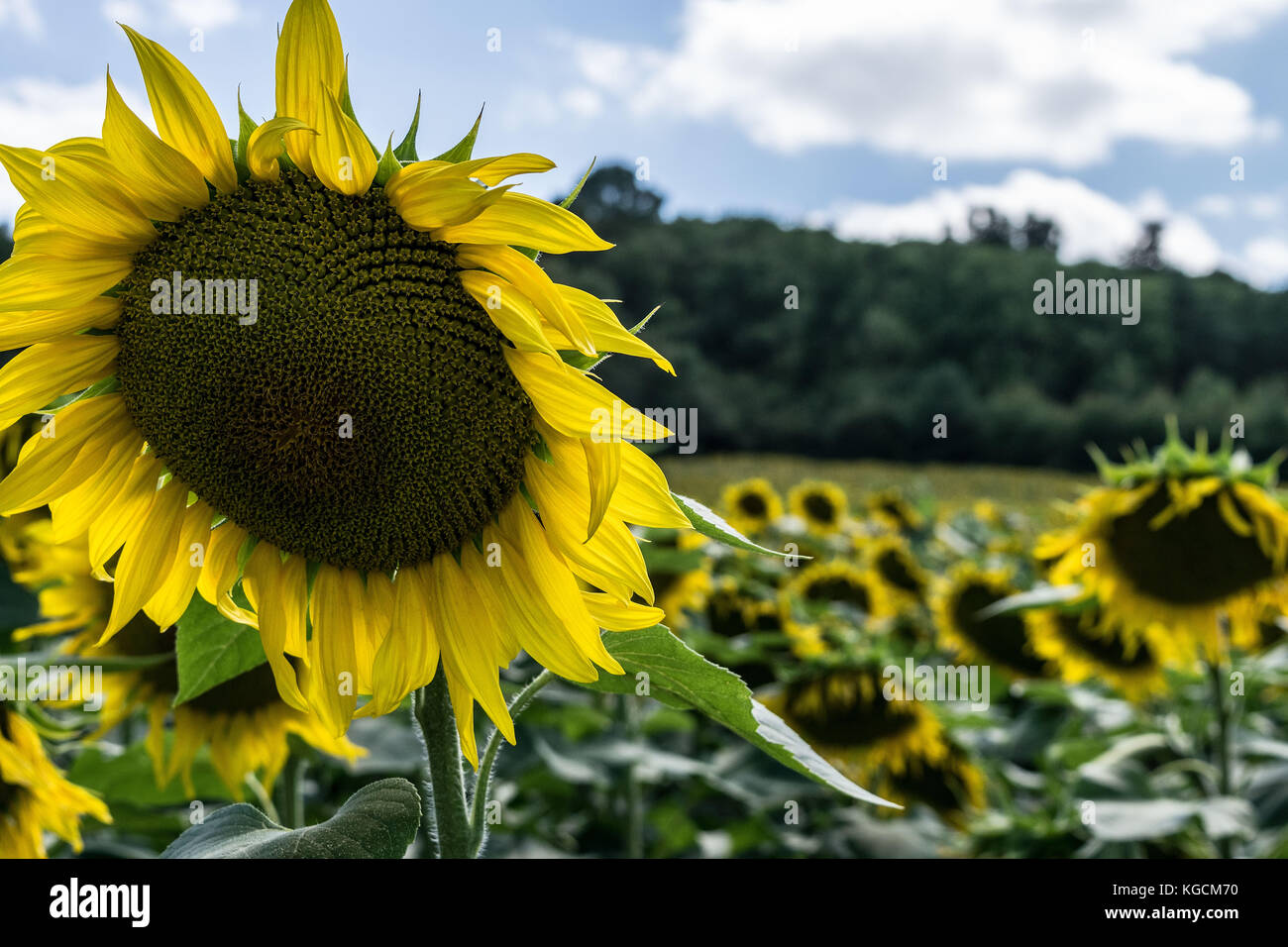 CLOSE-UP OF A SUNFLOWER IN A FIELD OF BLOOMS, DORDOGNE, FRANCE - Stock Image