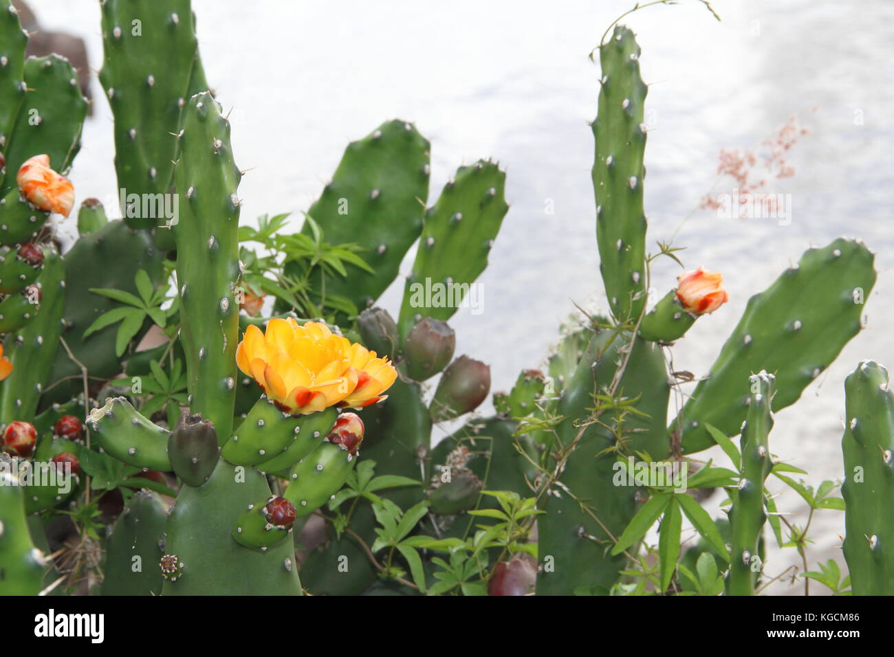cactus and succulents with yellow flowers in spring Stock Photo