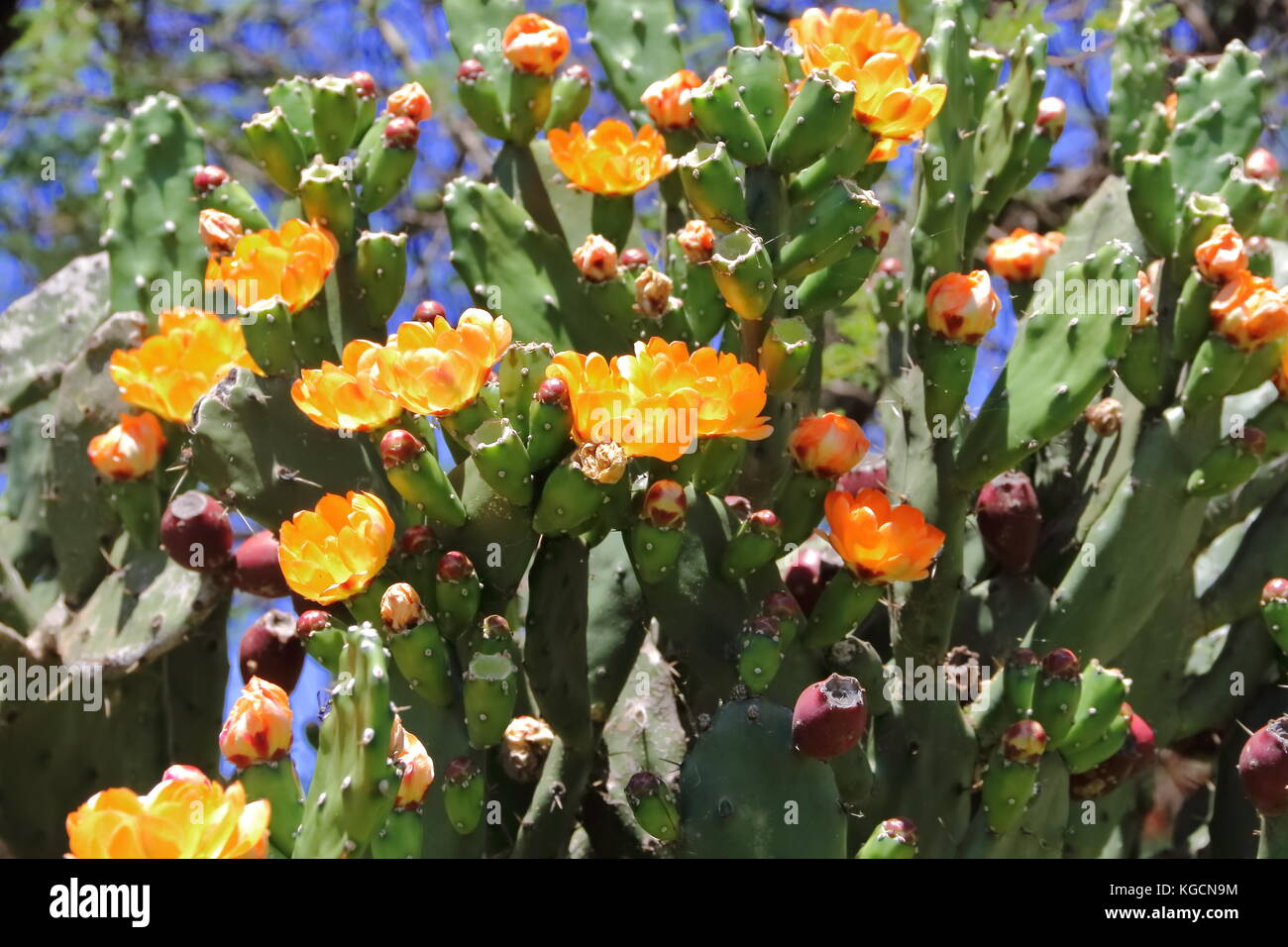 cactus and succulents with yellow flowers in spring - Stock Image