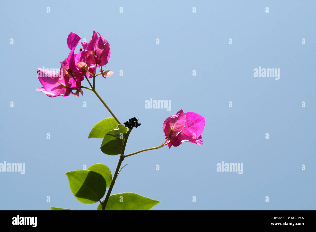 Shoot Of Bougainvillea With Green Leaves And Pink Flowers Isolated