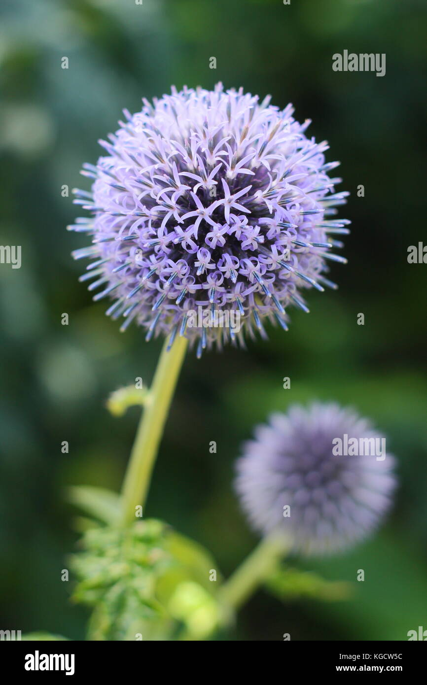Echinops bannaticus 'Taplow blue' globe thistle flowering in a summer garden border, UK - Stock Image