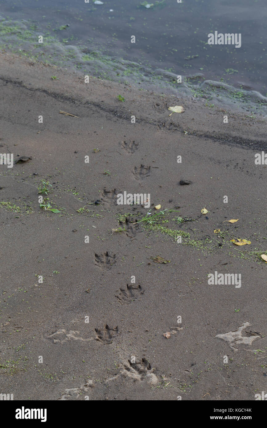 Foschotter, Spuren, Spur im Sand, Schlamm am Gewässerufer, Trittsiegel, Fährte, Europäischer Fischotter, - Stock Image