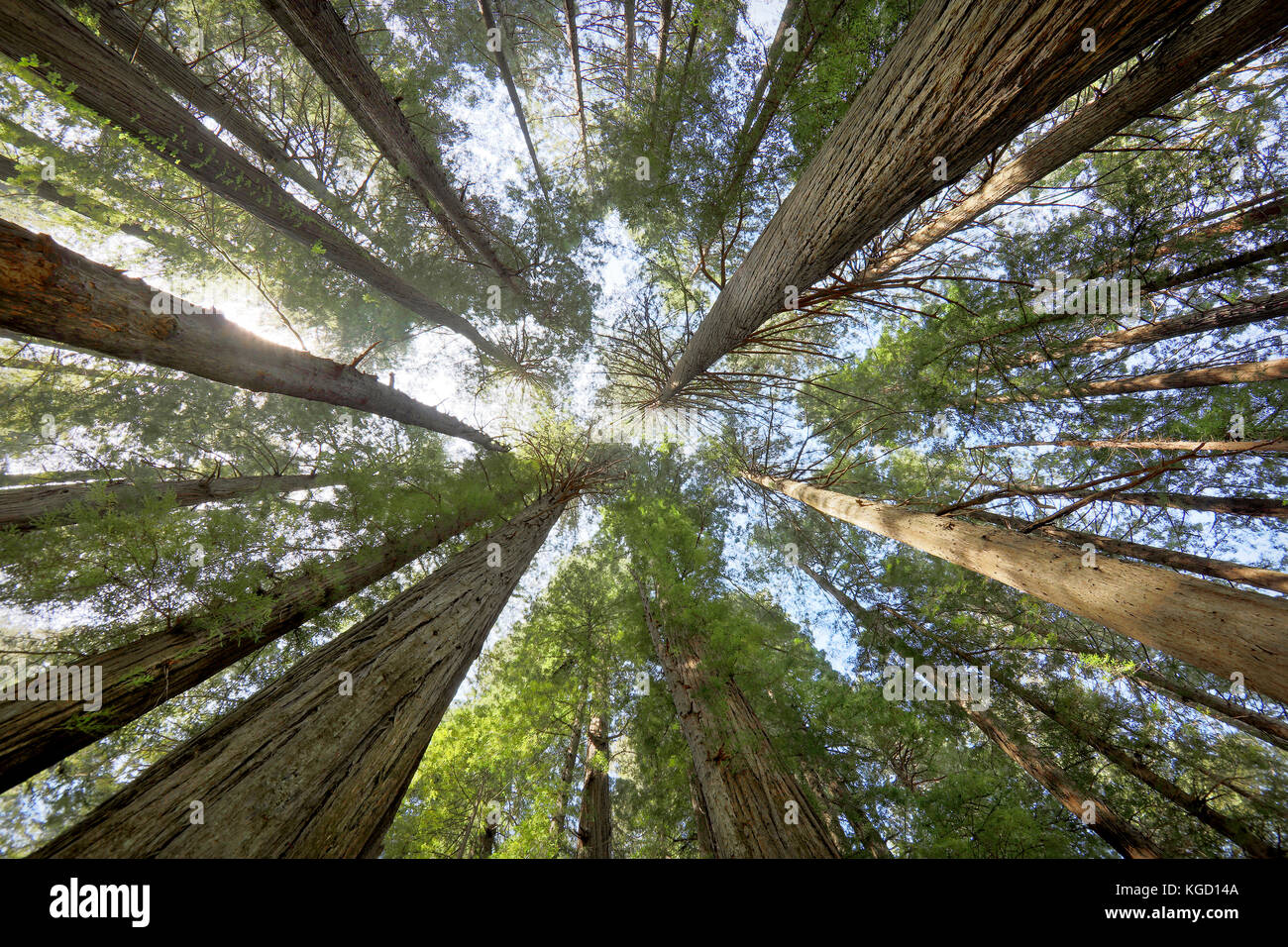 Redwood Giants. Towering Trees photographed at the Avenue of the Giants in Northern California. This image photographed Stock Photo