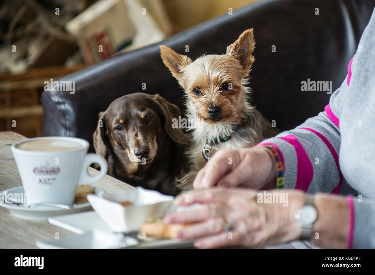 Two small dogs watching their owner eating. - Stock Image