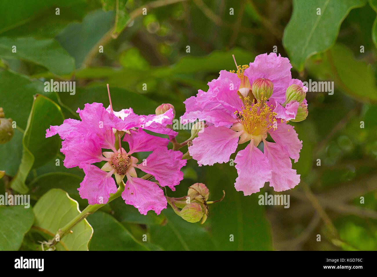 Lagerstroemia speciosa, Giant Crape-myrtle, Pink flower, Pune, Maharashtra Stock Photo