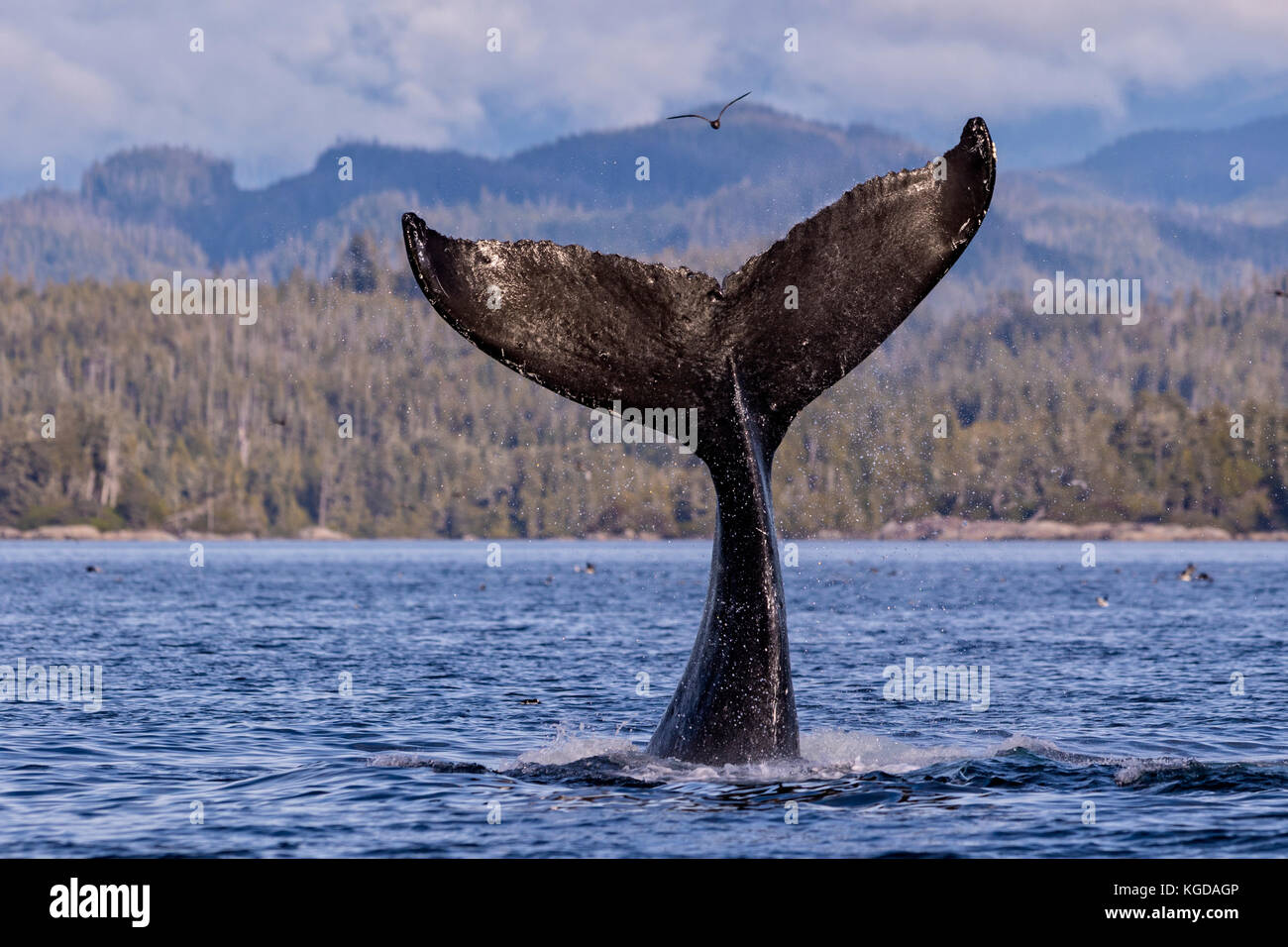 Humpback whale (Megaptera novaengliae) fluke splashing in front of the British Columbia Coastal Mountains in Queen - Stock Image