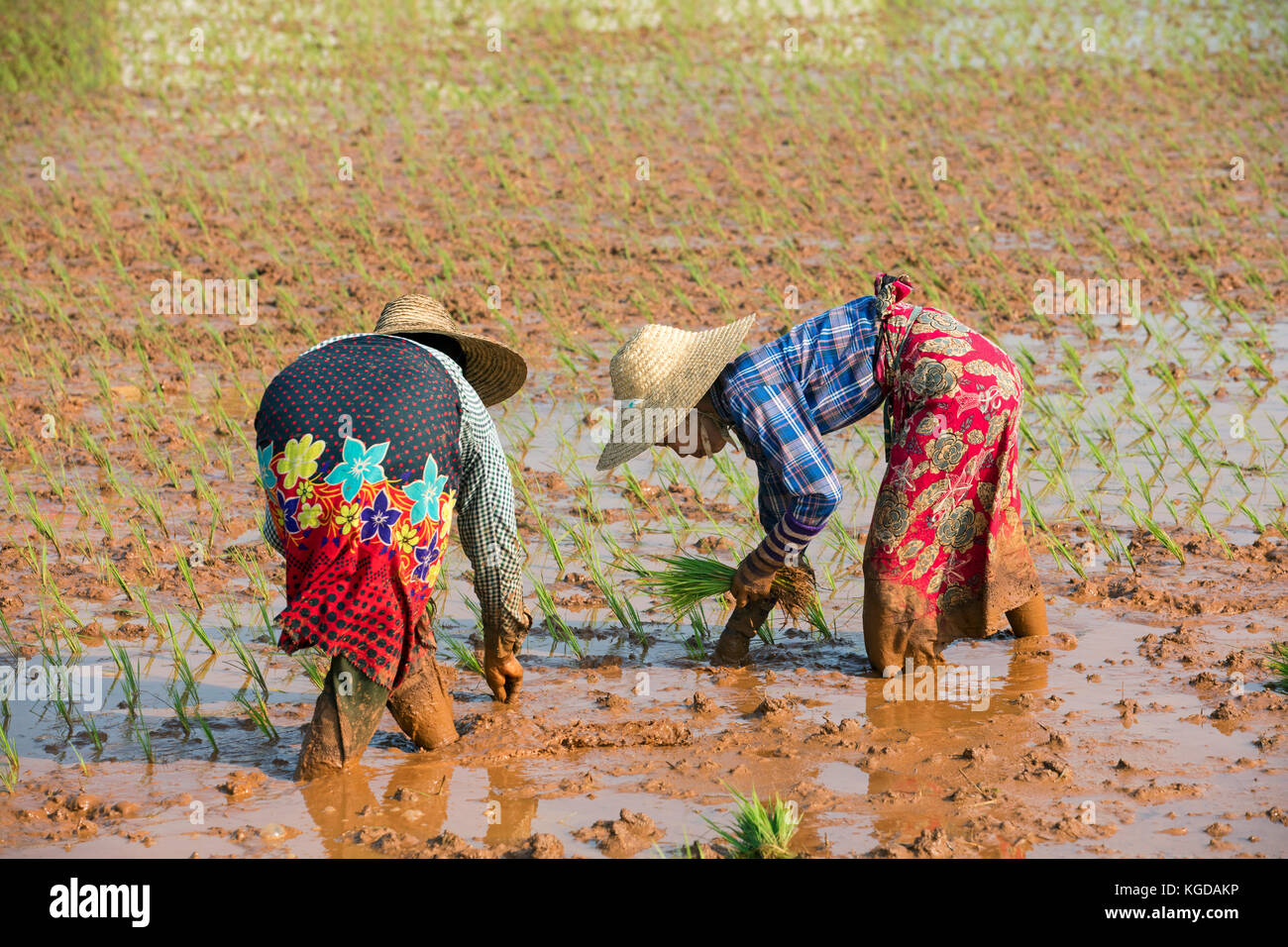 Two Burmese women with a bamboo hats, planting rice plants in wet rice field in the Taunggyi District, Shan State, - Stock Image