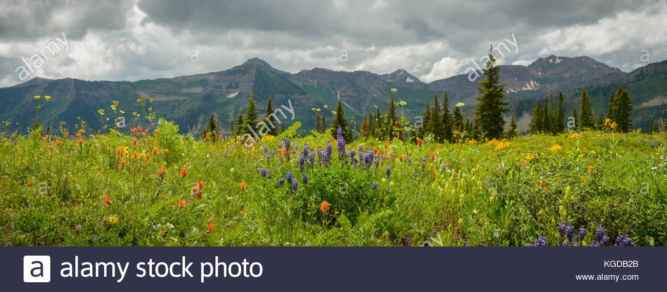 A medley of Rocky Mountain wildflowers bloom near the town site of Elkton, Colorado. - Stock Image