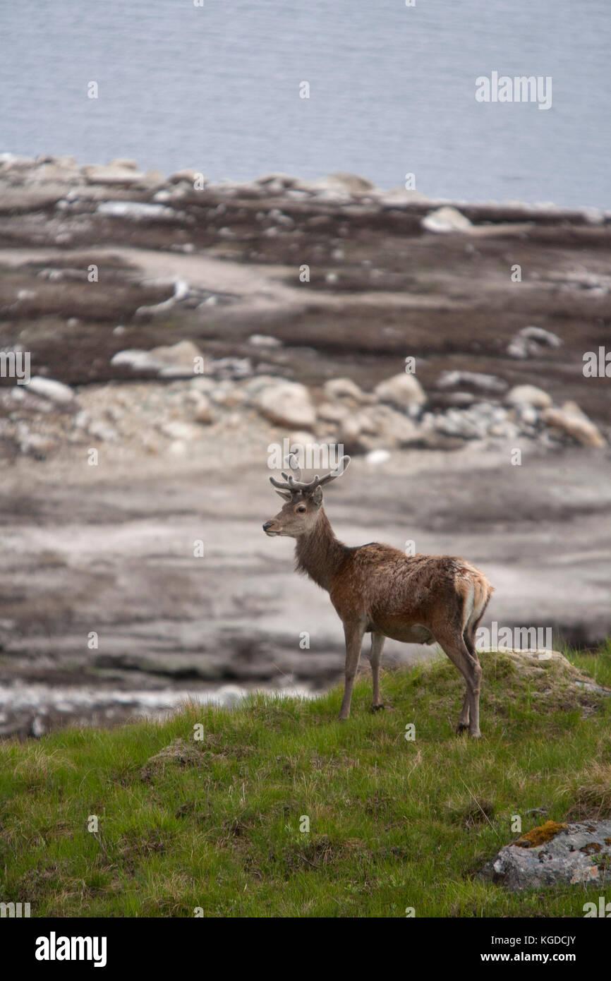 Red Deer, Cervus elaphus, single adult male standing on hillside. Glen Garry, Highland, Scotland, UK. - Stock Image