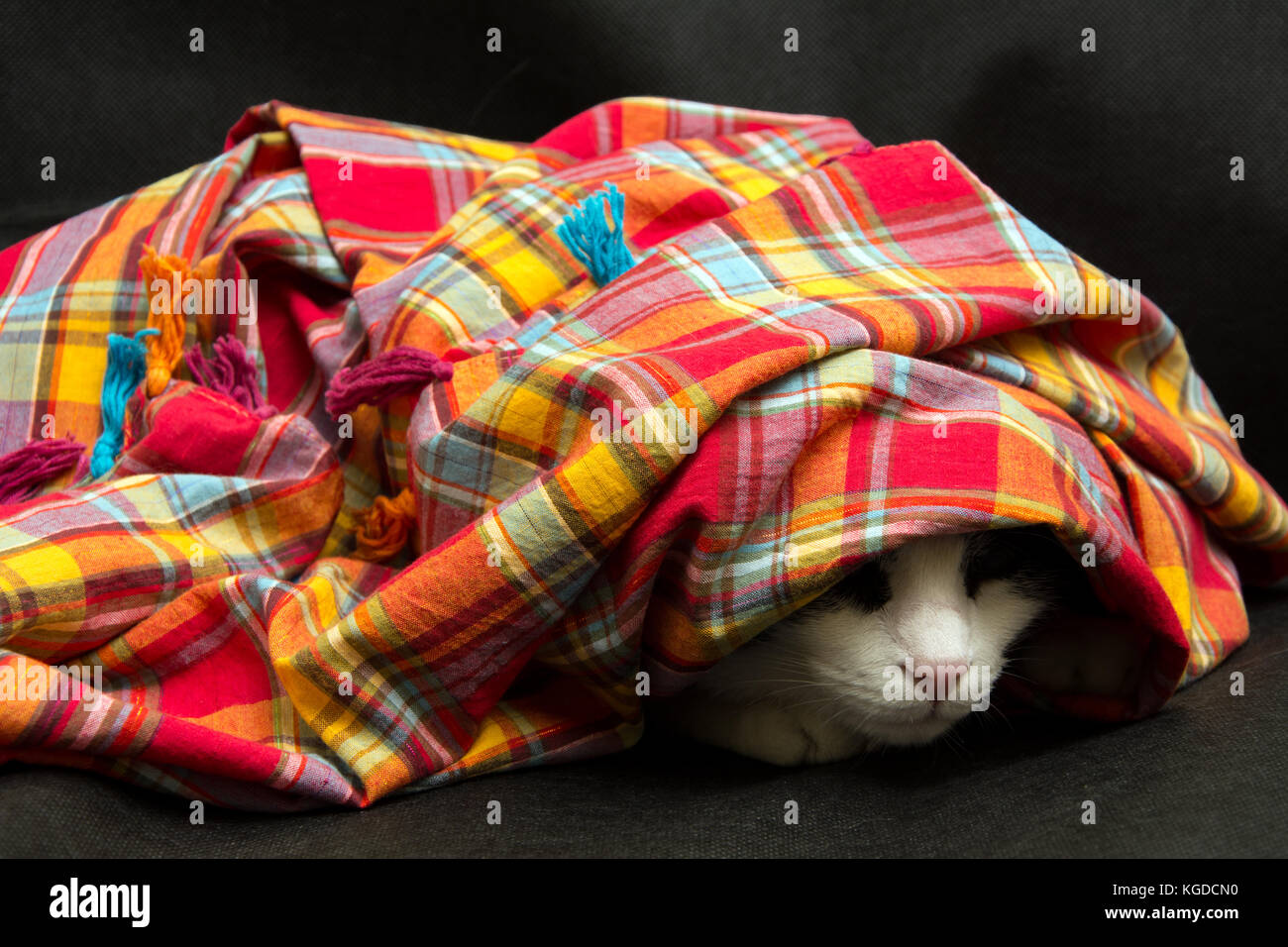 cat hidden under a colorful scarf on a black background - Stock Image
