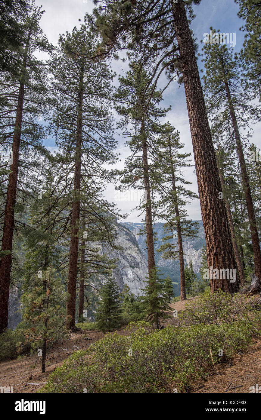 Red fir trees tower over the hiking trails in Yosemite National Park. - Stock Image