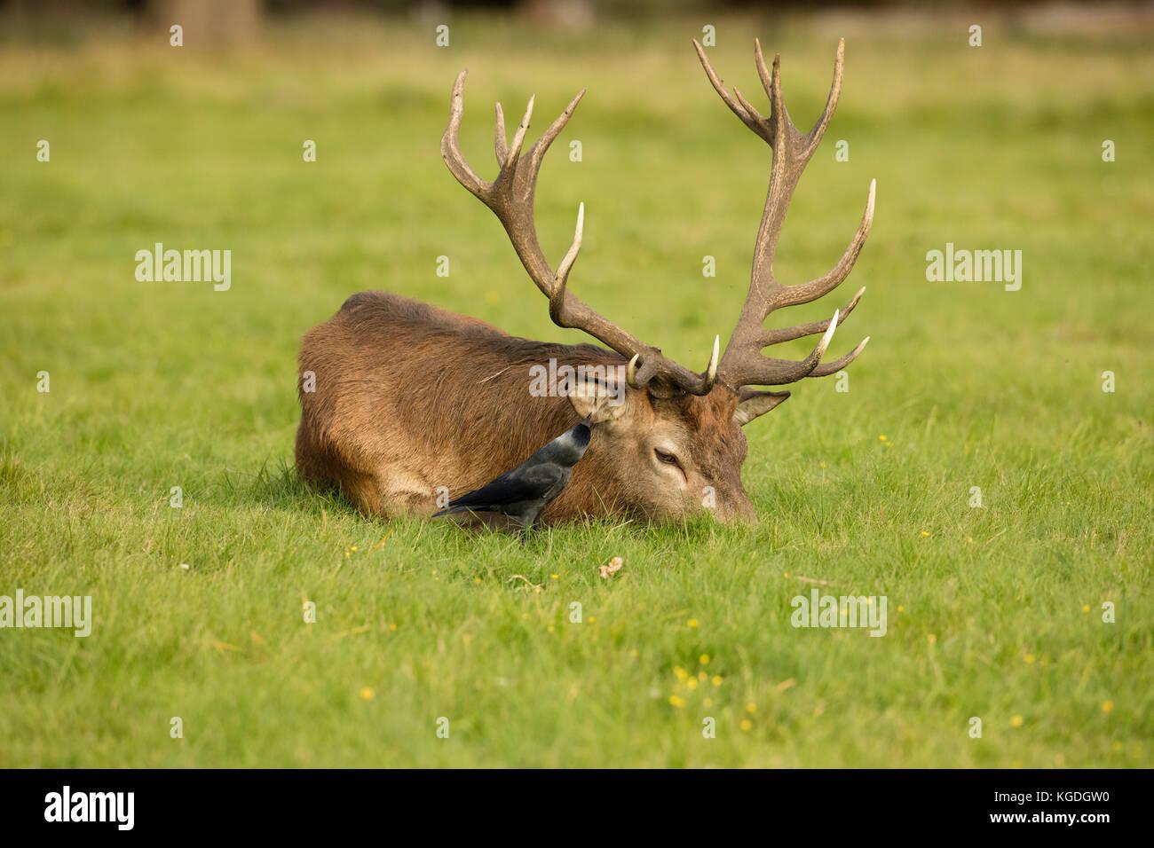 Jackdaw (Corvus monedula), feeding on ticks and other invertebrates on red deer stag, Cervus elaphus, England, UK - Stock Image