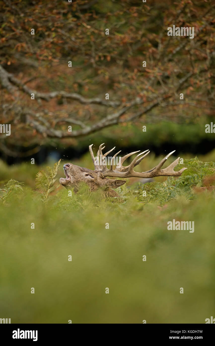 red deer (Cervus elaphus), Stag roaring during rut to attract females and establish dominance, England, U.K. - Stock Image